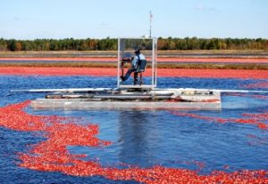 The floating picker Joe invented to reduce plant stress and increase yield.